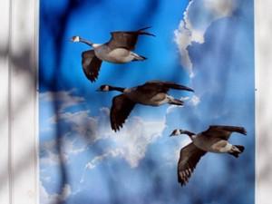 geesewindow